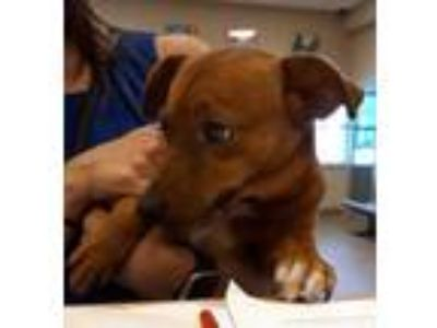 Adopt 41912559 a Brown/Chocolate Dachshund / Mixed dog in Mesquite