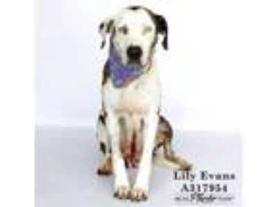 Adopt LILY EVANS a White American Pit Bull Terrier / Catahoula Leopard Dog /