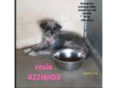 Adopt 42216103 a Gray/Blue/Silver/Salt & Pepper Schnauzer (Standard) / Mixed dog
