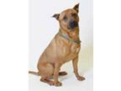 Adopt 56882 Beck a Brown/Chocolate American Pit Bull Terrier / Mixed dog in