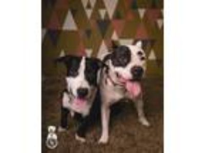 Adopt Jill & Milkyway a White - with Black Pit Bull Terrier / Basset Hound /