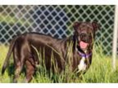 Adopt Angus a Pit Bull Terrier, Great Dane
