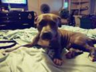 Adopt Babee a Brown/Chocolate - with White American Pit Bull Terrier / Mixed dog