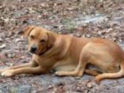Adopt Brownie a Labrador Retriever, Redbone Coonhound