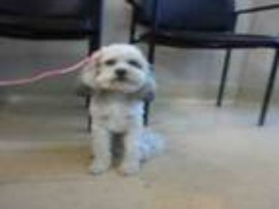 Adopt #ANDRES a Poodle