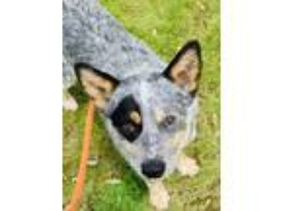 Adopt Jeep a Black Australian Cattle Dog / Mixed dog in Binghamton