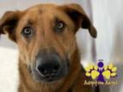Adopt Jack a Red/Golden/Orange/Chestnut Mixed Breed (Large) / Shepherd (Unknown