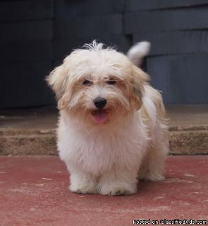 AKc Reg Girls and Boys Havanese puppies Ready Now