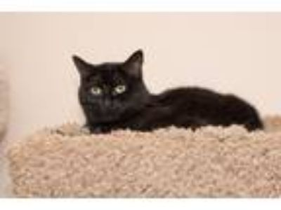 Adopt Onyx a Black (Mostly) Domestic Shorthair (short coat) cat in Chicago