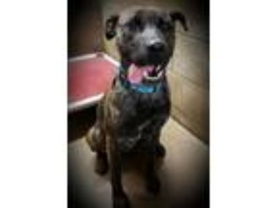 Adopt Prada a Pit Bull Terrier / Mixed dog in Lacon, IL (23828065)