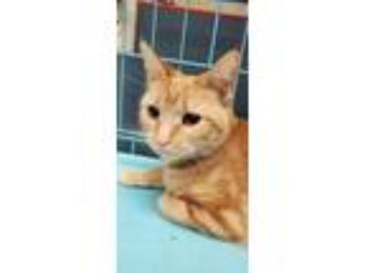 Adopt Lily a Orange or Red Domestic Shorthair / Domestic Shorthair / Mixed cat
