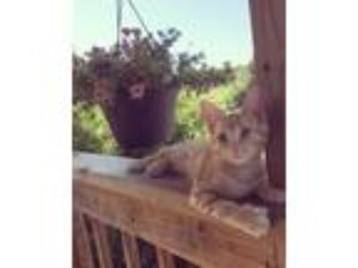 Adopt Layla a Calico, Domestic Short Hair