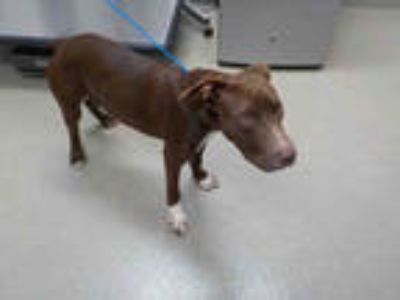 Adopt BIG HUNK a Brown/Chocolate Labrador Retriever / Mixed dog in Fort