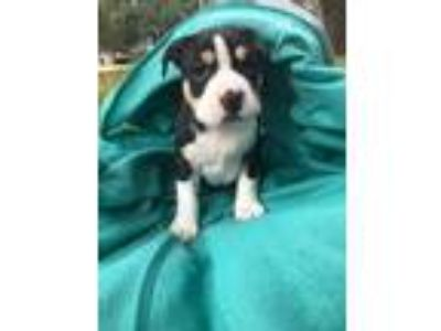 Adopt Barracuda a Tricolor (Tan/Brown & Black & White) Pit Bull Terrier /