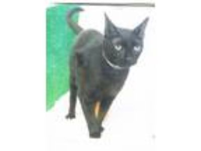 Adopt KITTCAT a Domestic Short Hair