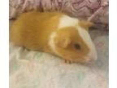 Adopt Tangerine a Guinea Pig small animal in Madison, NJ (25877778)