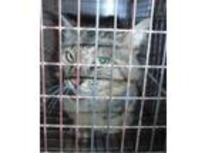 Adopt a Domestic Mediumhair / Mixed cat in Raleigh, NC (25643425)