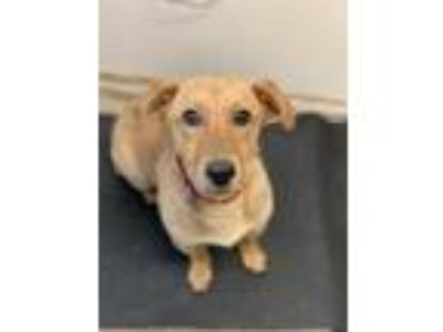Adopt Winnie a Tan/Yellow/Fawn Basset Hound / Retriever (Unknown Type) / Mixed