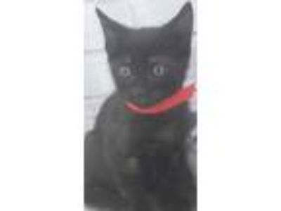 Adopt 41919143 a All Black Domestic Shorthair / Domestic Shorthair / Mixed cat