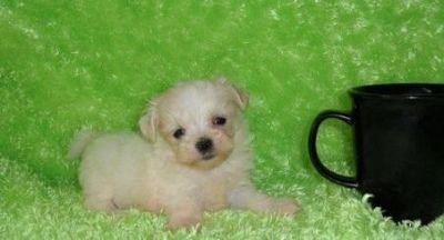 VFRG M\F AKC Teacup Maltese Puppies