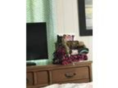 Adopt Monkey a Tortoiseshell Calico / Mixed cat in Bullard, TX (22621801)