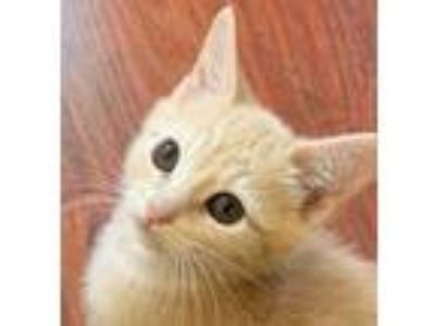 Adopt Gordal a Tan or Fawn Domestic Mediumhair / Domestic Shorthair / Mixed cat