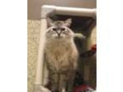 Adopt Precious a Cream or Ivory Birman / Domestic Mediumhair (medium coat) cat