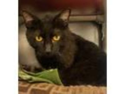 Adopt River a All Black Domestic Shorthair / Domestic Shorthair / Mixed cat in