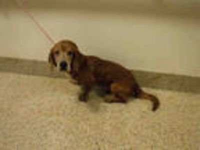 Adopt JUNIOR a Brown/Chocolate - with White Basset Hound / Mixed dog in Doral
