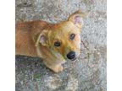 Adopt Goldie a Red/Golden/Orange/Chestnut Mixed Breed (Small) / Mixed dog in