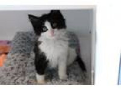 Adopt Poco a Domestic Short Hair