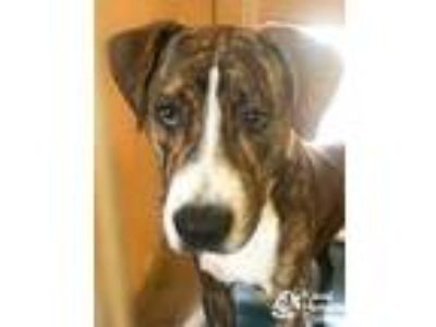 Adopt Greg a Brown/Chocolate Hound (Unknown Type) / Mixed dog in Lihue