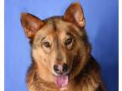 Adopt SARGE a Shepherd, Mixed Breed