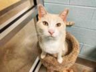 Adopt lyric a Orange or Red Domestic Shorthair / Domestic Shorthair / Mixed cat