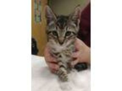 Adopt Felicity a Tan or Fawn Domestic Shorthair / Domestic Shorthair / Mixed cat