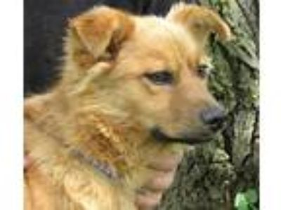 Adopt Simba a Red/Golden/Orange/Chestnut Golden Retriever / Feist / Mixed dog in