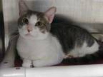 Adopt Stormfly a Gray or Blue Domestic Shorthair / Domestic Shorthair / Mixed