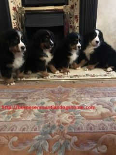 Best Bernese Mountiandog puppies