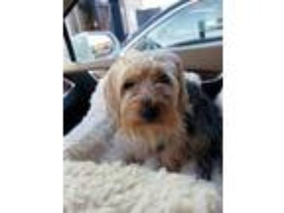 Adopt T.J. a Yorkshire Terrier