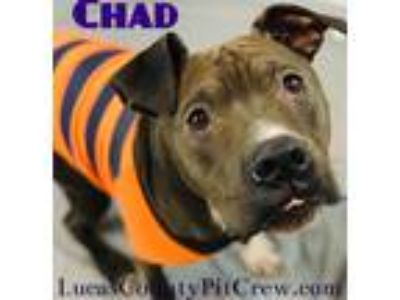 Adopt Chad a Black - with White Shar Pei / Labrador Retriever / Mixed dog in