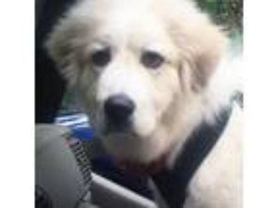 Adopt Boomer a Great Pyrenees