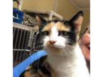 Adopt Dahlia a Calico or Dilute Calico Domestic Shorthair (short coat) cat in