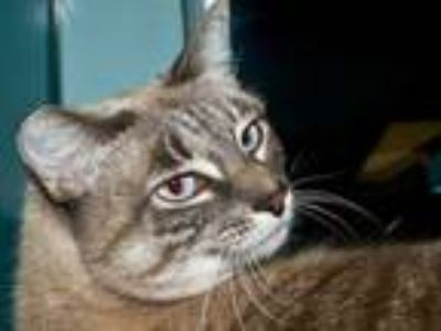 Adopt LEAH a Brown or Chocolate (Mostly) Siamese / Mixed (short coat) cat in