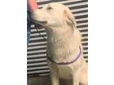 Adopt Tineal a White Great Pyrenees / Mixed dog in Lewiston, ID (25575125)