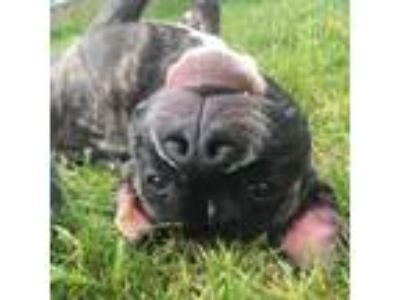 Adopt Infernie a Pit Bull Terrier, Mixed Breed