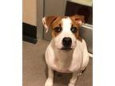 Adopt MADELINE a Pit Bull Terrier / Boxer / Mixed dog in Redwood City
