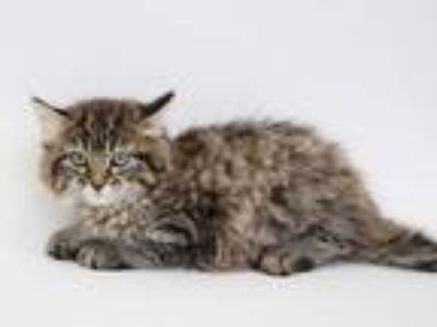 Adopt JUDY a Brown Tabby Domestic Longhair / Mixed (long coat) cat in St.