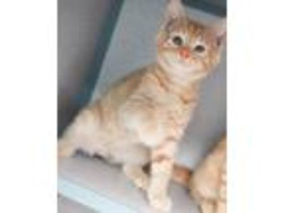 Adopt Jace - the coolest and cutest kitten around! a Tabby, Siamese