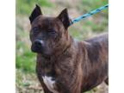 Adopt CHOPPER a Terrier