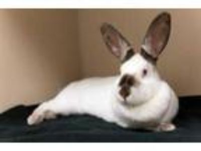 Adopt California Roll a White American / American / Mixed rabbit in Bellevue